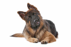 German Shepherd. In front of a white background Royalty Free Stock Images