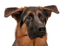German shepherd. Puppy, 5 months old on white background Royalty Free Stock Photo