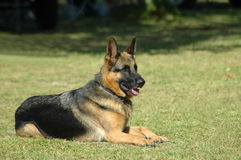 German Shepherd. A beautiful obedient German Shepherd dog lying on the grass with an alert expression in the face watching other dogs in the park royalty free stock photo