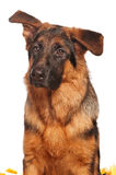 German shepherd Royalty Free Stock Photos