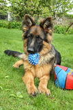 German Shepherd. In garden with ball Royalty Free Stock Photos