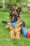 German Shepherd. In garden with ball royalty free stock photos