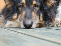 German shepherd. Resting its head on paws Royalty Free Stock Images