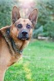German shepherd. Portrait of a curious german shepherd against strong sunlight Royalty Free Stock Photo