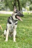German shepherd Royalty Free Stock Photography
