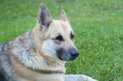 German shepherd. Stock Photo