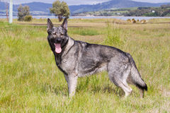 German Shepherd. A silver and black German Shepherd standing in a meadow by the sea stock photography