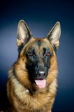 German shepherd. Portrait on dark background Stock Photos