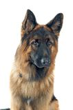 German shepherd. Portrait on white background stock image