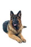 German shepherd. Portrait on white background Stock Images