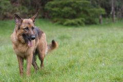 German Shepherd. Stands on a field Royalty Free Stock Photos