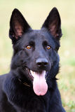 German shepherd. Portret of a black german shepherd female dog stock photo