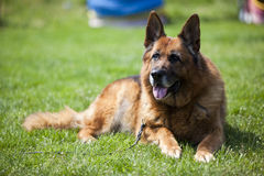 German shepherd. Old German shepherd resting on the grass stock photography