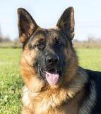 German shepherd Stock Image