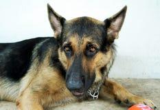 German Shepherd. A handsome german shepherd Royalty Free Stock Images