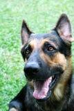 German Shepherd. A handsome german shepherd Royalty Free Stock Photos