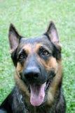 German Shepherd. A handsome german shepherd Stock Image