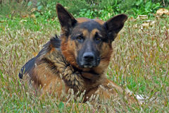 German shepherd. Waiting for the food royalty free stock image
