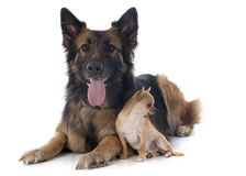 And german shepherd Stock Images