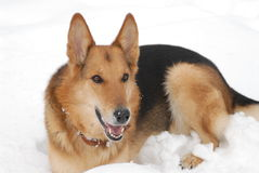 The German shepherd. Laying in snow Stock Photo