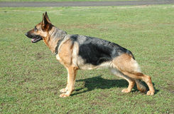 German Shepherd. Profile of large German Shepherd dog outside on grass royalty free stock photo
