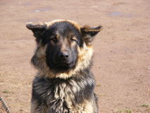 German Shepherd. I didn't do nothing to him but i still fell sorry Stock Photos