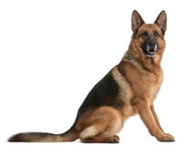 German Shepherd, 5 years old Stock Photo