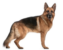 German Shepherd, 5 years old Stock Images
