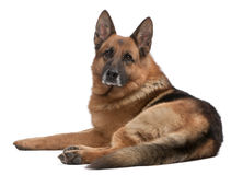 German Shepherd, 5 years old Royalty Free Stock Photo
