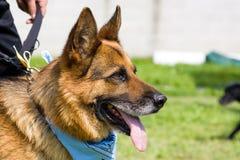 German Shepherd. A large german shepherd, beautiful dog stock photography