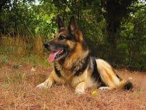German shepherd. German shewpherd dog lying on grass Stock Photo