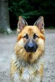 German shepherd. Shot of a german shepherd dog in the forest Royalty Free Stock Photos