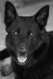 German shepherd. It is a thoroughbred black German shepherd Stock Image