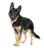 German shepherd (7 months old) Stock Photo