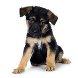 German shepherd (7 weeks)/ alsatian, police dog Royalty Free Stock Image