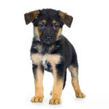 German shepherd (7 weeks)/ alsatian, police dog Stock Photos