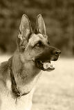 German shepherd. Portrait of a German shepherd stock images