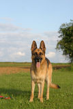 German shepherd. Portrait of a German shepherd stock photography