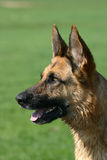 German shepherd. Portrait of a beautiful German shepherd dog stock image