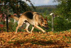 German shepherd. A running dog playing with its toy stock image