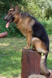 German shepherd. On wooden construction Stock Photos