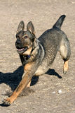 German Shepherd. Beautiful German Shepherd running through the park Stock Photography