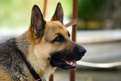 German shepherd. Dog waiting for food Royalty Free Stock Images