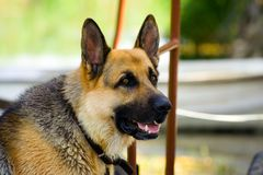 German shepherd. German dog from side view Stock Images