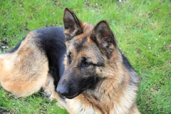 German shepherd. Dog is very smart, loyal, one of the best breeds of dogs royalty free stock photography
