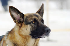 The German Shepherd Royalty Free Stock Photography