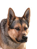 German shepherd. Dog looking away from camera. Isolated on white background Royalty Free Stock Images