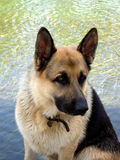 German Shepherd. A German Shepherd portrait near the water stock photo