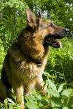German shepherd. Sitting in the grass Royalty Free Stock Photos