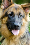 German Shepherd Adoption Portrait. Animal shelter humane society adoption stock photos